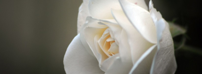 Trandafir care trăieşte 6 luni fără a fi plantat, produs în Turcia