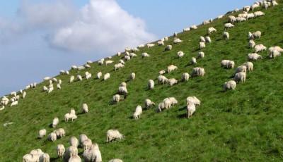 măsurişul oilor