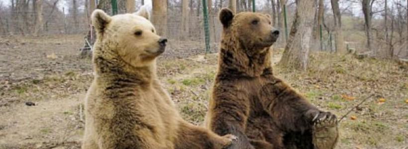 ursi bruni