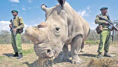 rinocerul alb