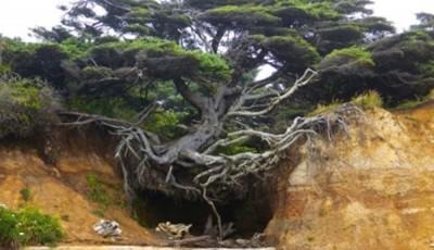 copac cu radacinile in aer