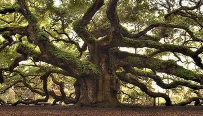 cel mai batrin stejar