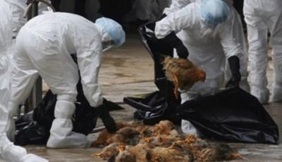 gripa aviara