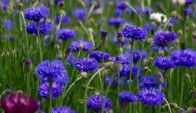 albastrele