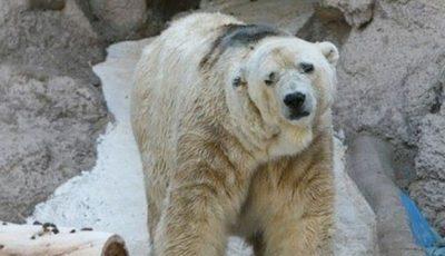 cel-mai-trist-urs-din-lume