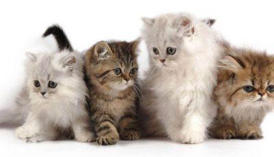 pisici-domestice