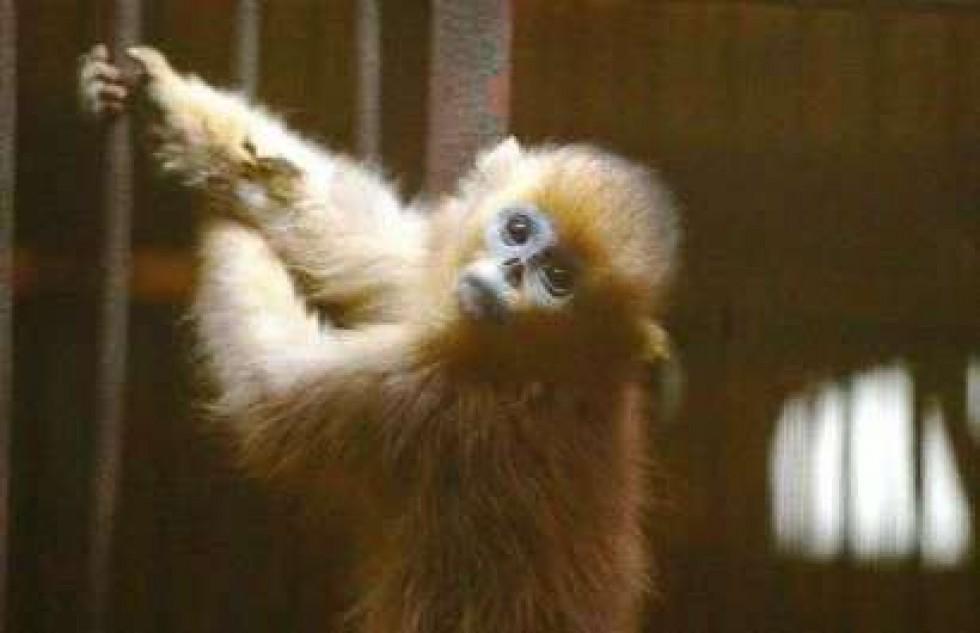 maimuta fura mincare