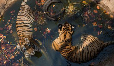 tigri de indochina