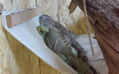 iguana reptila vivariu