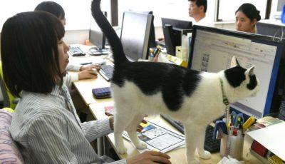 pisica la birou japonia