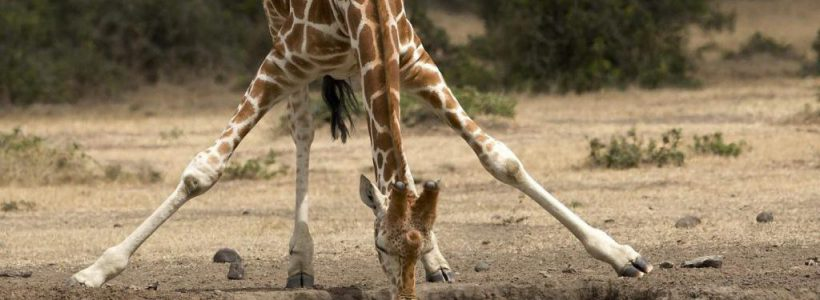 girafa congo