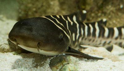 rechin bambus ocean