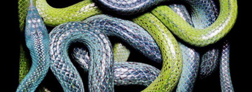 serpi incolaciti
