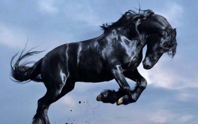 cal negru salbatic