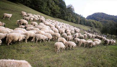 turmă de oi