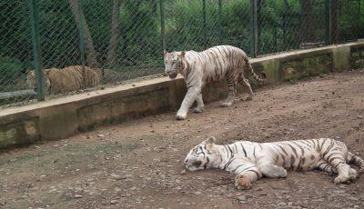 tigrii albi